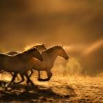 wild-horses-running-photo-6889a_copy_3